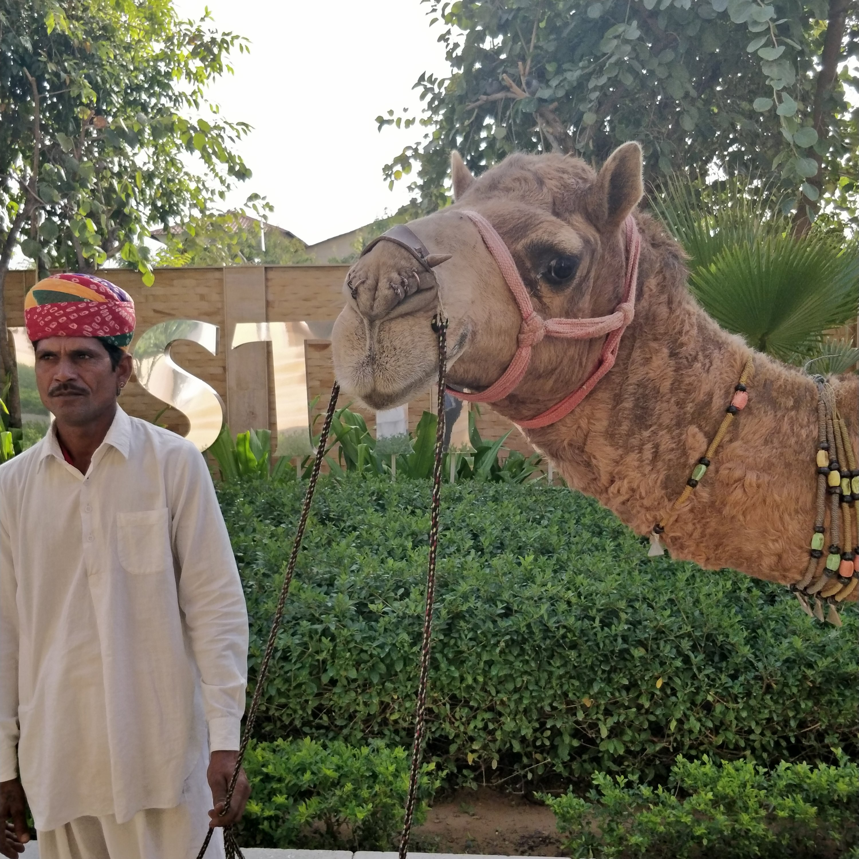 Pushkar camel rides