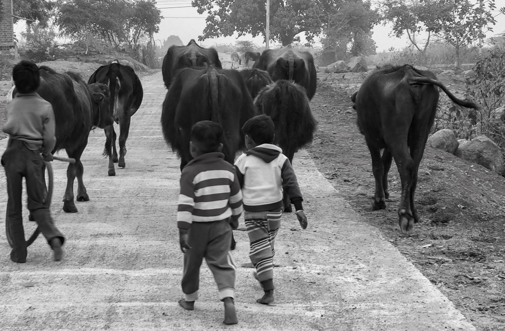 Young boys herding buffaloes